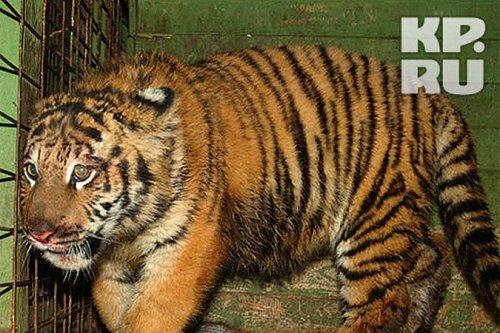 К 8 сентября в Ярославле ждут амурского тигра