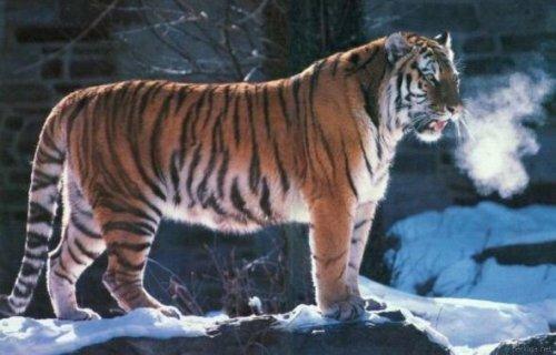 Амурский тигр сильный зверь...