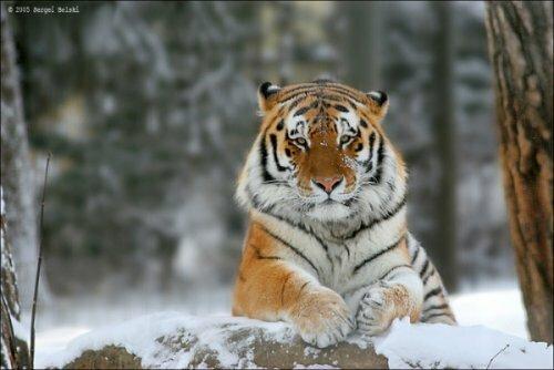 Тигр - красивая и печальная иллюстрация взаимоотношений природы и человека