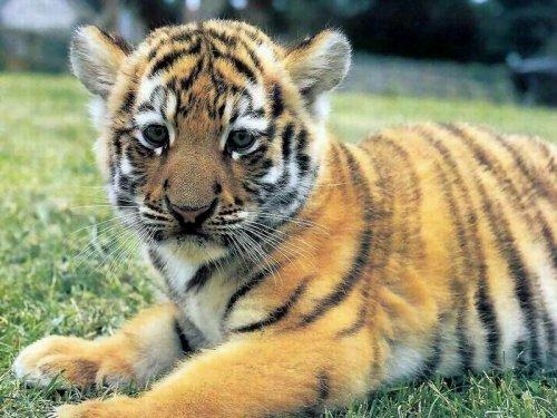Радостная новость - тигренок жив!