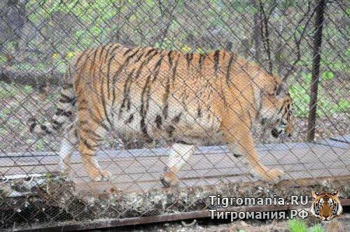 Плановый осмотр тигра Жорика показал хорошие результаты