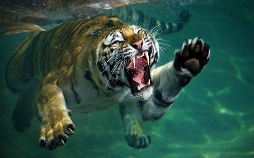 Купание тигра Тони заворожило посетителей зоопарка Сан-Франциско