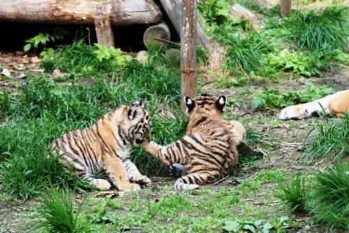 Тигрята в зоосаде под Хабаровском стали выходить в свет