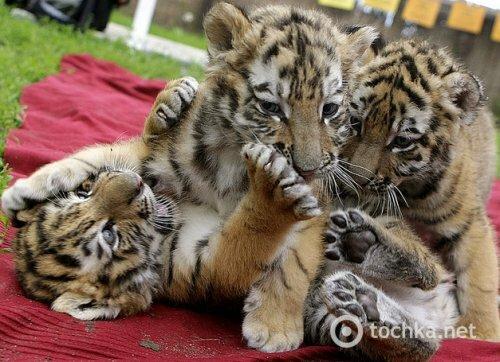 Крошечные тигрята играются в зоопарке Будапешта