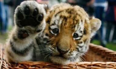Жители края выбрали имя хабаровскому тигренку