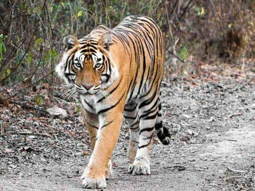 Браконьеры продолжают убивать индийских тигров