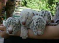 Трое детёнышей Тигрюли погибли