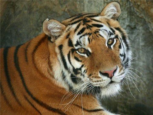 Амурский тигр Исатора умер в пензенском зоопарке