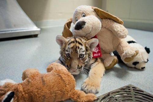 Тигрёнок из Зоопарка Питтсбурга