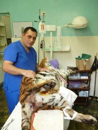 Челябинский «айболит» Карен Даллякян спас тигрицу из передвижного зверинца