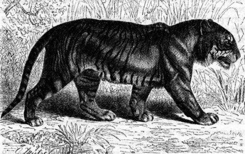 Тигр по Альфреду Брему