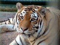 В Ростове тигр удочерил бездомную кошку
