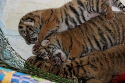 """В ялтинской """"Сказке"""" тигрица Зара родила шестерых тигрят (видео)"""