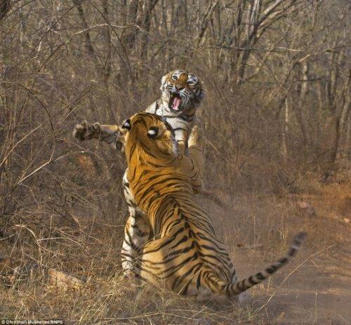 В Индии тигры у тигриц воруют еду
