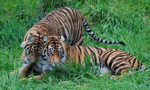 Суматранские тигры из Такомы