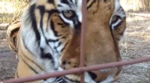 "Тигр говорит: ""Good Morning"""
