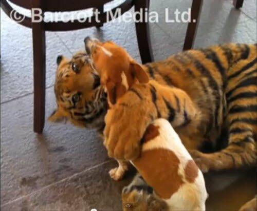Тигр и Собака - лучшие друзья!
