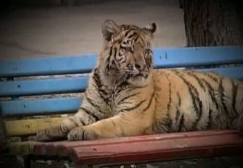 История тигрёнка Жорика