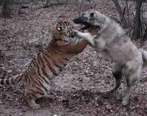 "Детский садик сделал клип: ""История тигрёнка Жорика"""