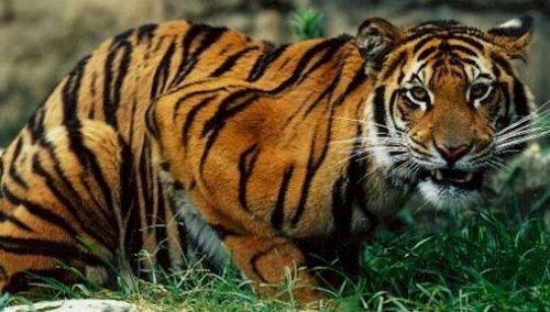 К ночному образу жизни непальских тигров вынудили люди