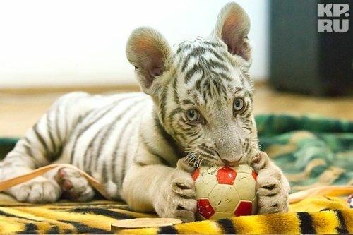 Трем белым тигрятам Екатеринбургского зоопарка дали имена