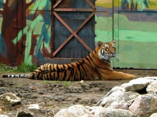 Более 1000 ярославцев пришли посмотреть на амурского тигра