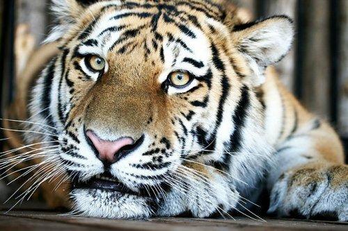 В Самарском зоопарке впервые прошёл День Тигра