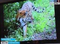 Зоозащитники предложили праздновать Всемирный день тигра на Южном Урале (видео)