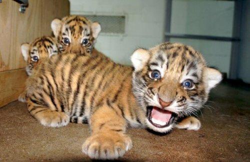 В зоопарке Иллинойса родились первые амурские тигрята