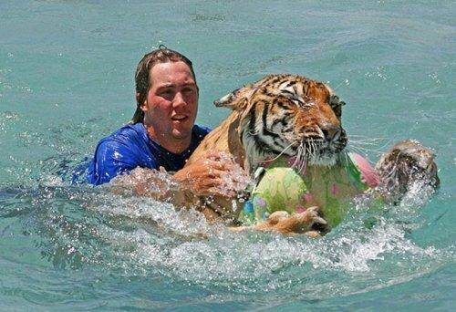 Поплавать с тиграми