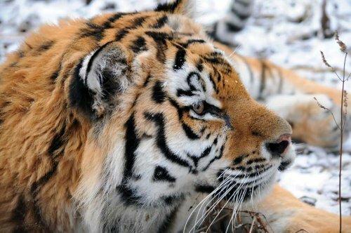 Подарок на день рождения: ветеринар Даллакян получил фотоотчет о спасенном им тигренке Жорике (фото)