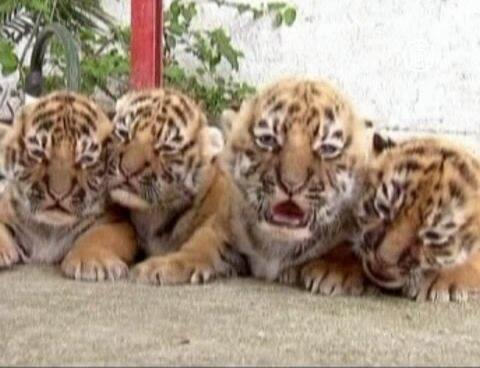 Четверо бенгальских тигрят из Мексики