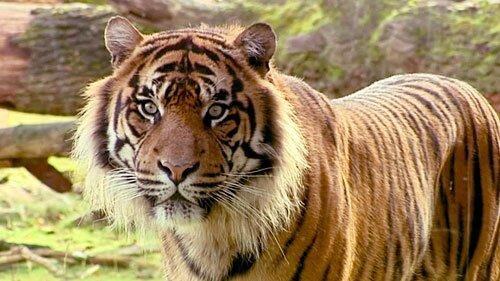 Как узнать, комфортно ли тиграм в зоопарке? (видео)