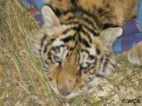 Нужна срочная помощь тигрёнку Золушке!