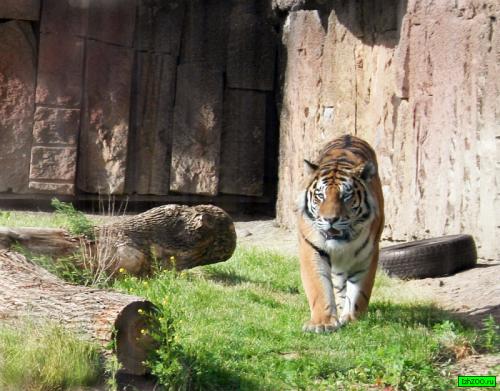 В Гродненском зоопарке появился новый тигр