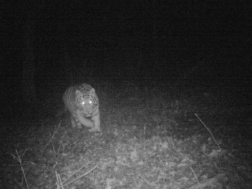 Амурский тигр в дикой природе