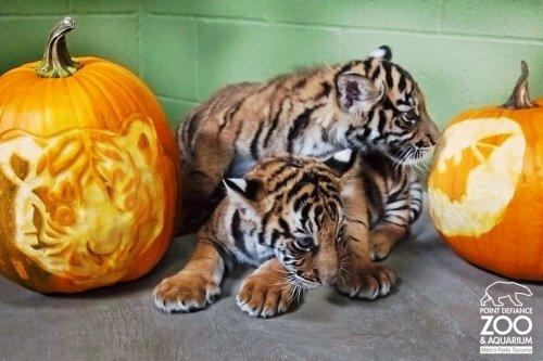 Тигриный Хэллоуин