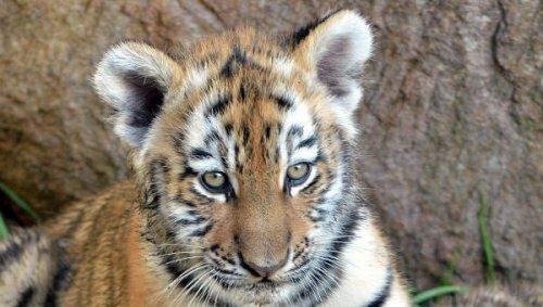 Два амурских тигра стали новыми постояльцами сафари-парка в Приморье