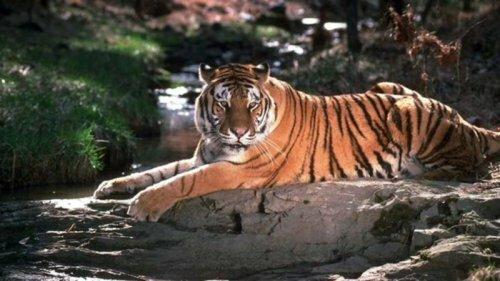 Число тигров сократилось до рекордно низкого уровня