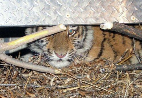 Зима в Приморье: три тигренка остались без матери