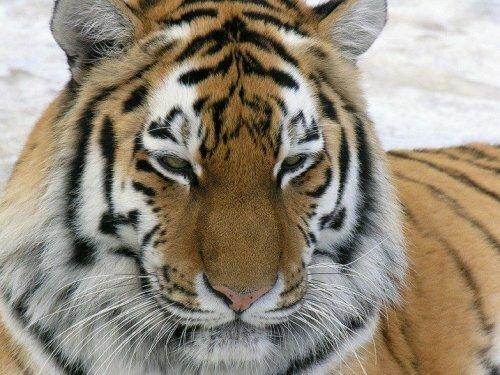 Амурская тигрица Юнона прибыла в красноярский зоопарк