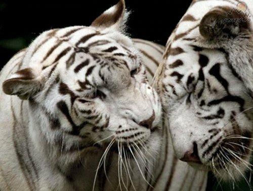 Роев Ручей хочет обменять двух своих пум на белую тигрицу
