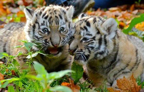 В немецком зоопарке родились амурские тигрята