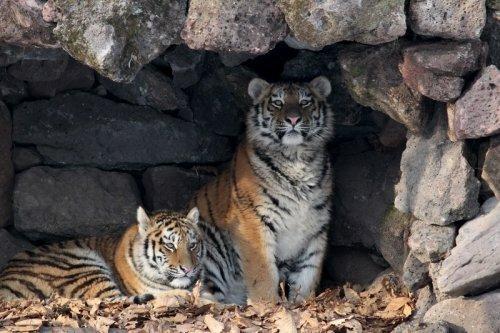 Тигрята Амурочка и Тайга появились в Приморском Парке тигров