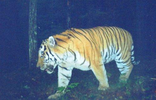 Проект «Амурский тигр» или «Чума на оба ваши дома…»