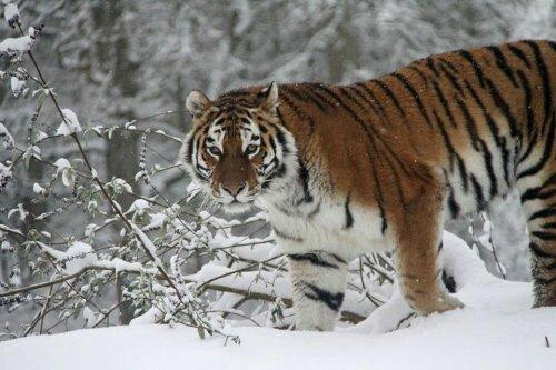 Тигры в снежный день