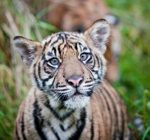 Смотрите, как тигрята Бирани и Думаи играют в зарослях бамбука!