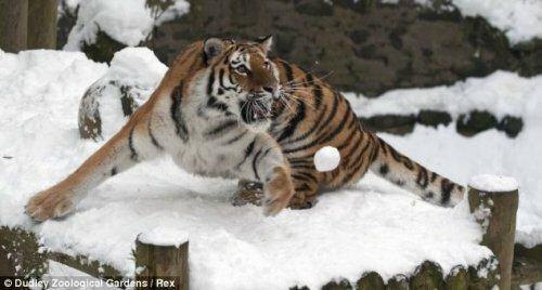 Смотрите, как суматранская тигрица играет в снежки!