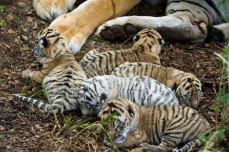 Рассказ о том, как тигрица Джули родила пятерых тигрят