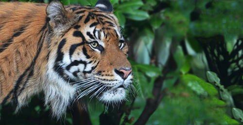 Лондонский зоопарк стал домом для суматранских тигров